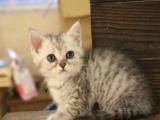加送用品、美国短毛猫咪活体 标准银虎斑 美短