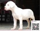 哪里有卖杜高犬 出售纯种杜高犬犬舍在哪里