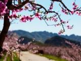 2020平谷桃花节行程 平谷桃花节一日游 桃花节团建两日游