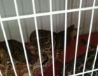 出售4个多月孟加拉豹猫小公,小母