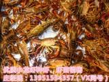 小龙虾种虾虾苗多少钱一斤