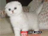 温州苏格兰折耳猫 蓝白折耳 蓝猫折耳 渐层折耳(包纯种健康)