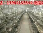 陕西个体元宝鸽价格公斤元宝鸽多少钱