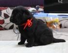 唯一一家经过犬业协会确认犬舍 拉布拉多可签订协议