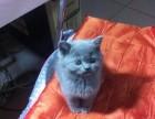 蓝猫 折耳 短毛