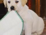 南昌哪有拉布拉多犬卖 南昌拉布拉多犬价格 拉布拉多犬多少钱