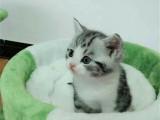 湖南長沙純種美國短毛貓幼貓價格