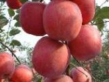 苹果树,苹果小苗供应,桃树苗供应,