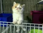 CFA纯种红虎斑加菲猫多颜色包健康免费送猫上门挑选