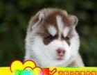 北京最专业哈士奇犬舍来场可看狗父母种公对外配