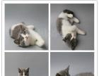多年养猫经验 繁殖更纯种英短银渐层 蓝猫 蓝白猫