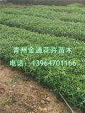 千屈菜培育基地 优质千屈菜批发价格