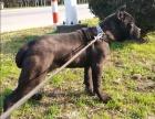 意大利纯种卡斯罗幼犬出售 高贵血统 专业繁殖可送货