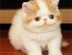 东莞加菲猫去哪买好东莞加菲猫价格多少东莞哪里有卖加菲猫