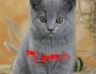 英国短毛猫 家养 蓝猫 蓝白 折耳 银渐层 幼猫 纯种 活体