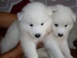 我家有一窝微笑天使萨摩耶幼犬(380一个)疫苗驱虫做好了