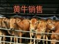 肉牛价格免费咨询