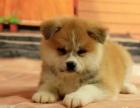 纯种日系秋田丨秋田幼犬丨日本皇室犬种丨高贵的象征