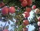 红富士苹果批发价格产地报价