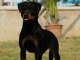 出售纯种罗威纳幼犬狗狗护主人 猎犬狗狗 疫苗齐全