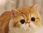品相好 价格合理 自家专业繁殖可爱粘人加菲猫 纯种