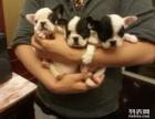 重庆狗狗之家长期出售高品质 斗牛犬 售后无忧