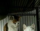急售猫两只,猫笼子一个
