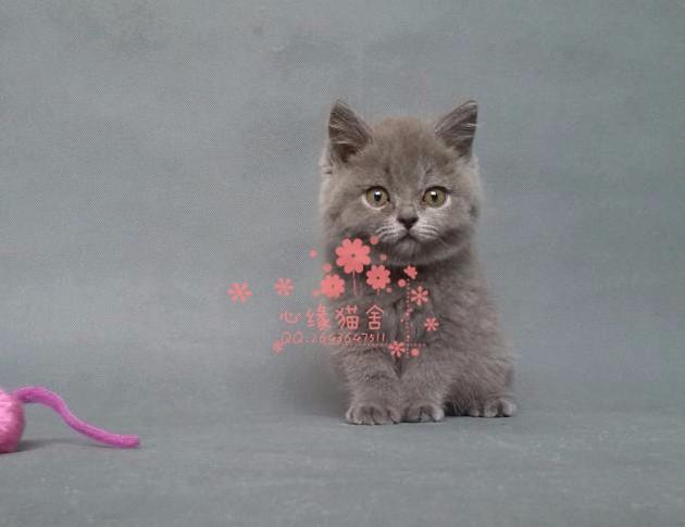 哈尔滨人都到哪里去买蓝猫 哈尔滨较便宜蓝猫价格