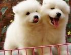 纯种萨摩耶犬,颜色品种齐全证健康纯种,疫苗驱虫已做