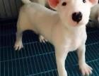 北京国泰宠物狗场出售纯种牛头梗多少钱纯种牛头梗犬多少钱