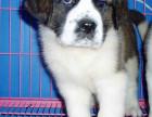 圣伯纳幼犬,圣伯纳多少钱一只