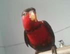 出售自家繁殖鹦鹉的吸蜜 健康活泼
