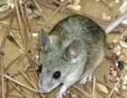 广州灭鼠公司 专业上门捉老鼠 捕老鼠 清理死老鼠