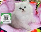 杭州哪里有金吉拉出售 杭州金吉拉价格 杭州宠物猫转让出售