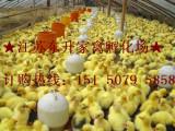 广东纯种狮头鹅苗/鹅苗供应批发 江苏东升家禽