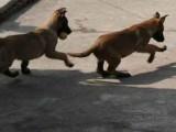 马犬幼犬多少钱一条 马犬价格