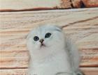 自家繁殖 英短蓝白 蓝猫 公母均有 包纯种健康售后