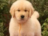 高品质纯种金毛犬出售 品质健康保障 可签订购犬协议 包半年