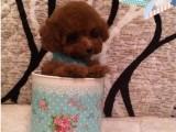 精品娃娃脸泰迪幼犬,包 ,可货到付款,可上门自提