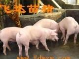 太湖母猪价格二元母猪价格文昌苏太母猪价格
