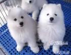 微笑 动感 完美 纯种高品质白色萨摩耶幼犬