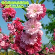 红菊花桃南方品种 红菊花桃南方品种 红菊花桃南方品种