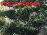苏州造型景观树 苏州庭院别墅绿化设计 花园绿化工程