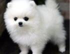 重庆健康活泼的球体博美犬 小体哈多丽博美 高贵华丽