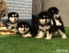 正宗双十字阿拉斯加雪橇犬狗场热销 可接受预定