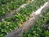 鄂州草莓采摘 鄂州市王永发草莓种植园