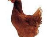 海兰褐青年鸡