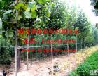 河北邢台欣润苗木大量供应法桐 20公分