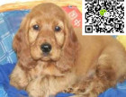 哪里有卖可卡犬 可卡犬多少钱 可卡犬图片