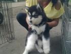 终身售后 阿拉幼犬 签订协议来场见狗父母 可送货